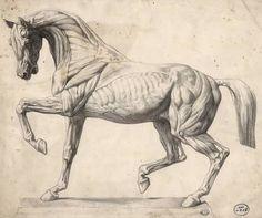 「horse anatomy」の画像検索結果