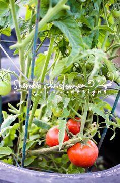Nice blog--scroll down for tips about trimming tomato plants back for better production. (Good Ranch Dressing recipe too.)