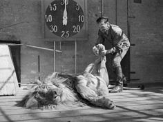 Habiba, a ten year old lion at Chessington Zoo in Surrey relaxes while keeper Hans Brick manipulates its hind legs. Vintage Photography, Animal Photography, White Photography, Old Photos, Vintage Photos, Vintage Prints, Chessington Zoo, Love Massage, Massage Tips