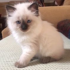 Marni is our youngest cat. This was her very first photo at 8 weeks old. She is a Seal Point Ragdoll. Marni has the sweetest face and the biggest blue eyes ever. She adores our older cat Remy and still sucks on his paw after every nap.