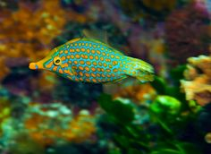 Oxymonacanthus longirostris - #FileFish