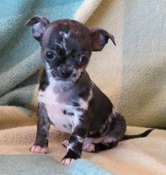 Smiley X Will Black Merle Harlequin Merle Male Chihuahua Puppy Chihuahua Cute Animals Cute Chihuahua