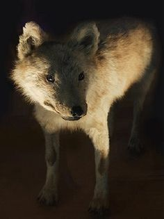 One of the few remaining preserved specimens of Honshu wolf