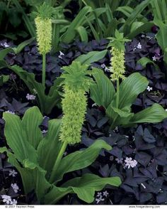 garden plant combinations: Freewheeling white pineapple lily ( Eucomis bicolor 'Alba', Zones 8–10) is a big crowd pleaser among a mass of purple wood sorrel ( Oxalis regnellii 'Triangularis', Z 7–10).