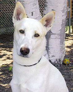 Canaan Dog, intelligent and can learn quickly. #DogBreeds