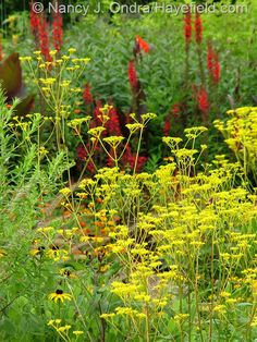 One Plant, Three Seasons: Patrinia scabiosifolia | Hayefield