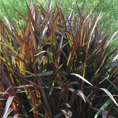 Dwarf Ornamental Grass List of full sun noninvasive dwarf ornamental grass grasses princess napier grass pennisetum princess emerald coast growers grows to 4 ranked 1 by ufl in summer trials workwithnaturefo