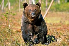 the brown bear (Ursus arctos) Finland Trip, National Animal, Brown Bears, Birches, I Want To Travel, Silent Night, My Land, Wild Things, Best Cities