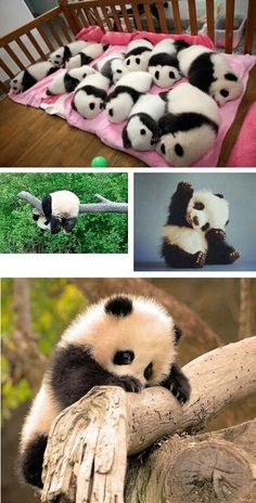 Pandas! this is my favourite animal,they are so cute!!!!!!!!!!!!!!! <3<3<3<3<3<3