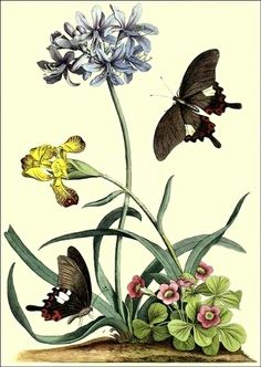 Free 18th Century Botanical Print | bumble button: Irrisistable Iris.18th century Botanical prints,early ...