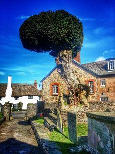 aged yew in Porlock Somerset churchyard
