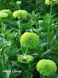 Image result for zinnias envy