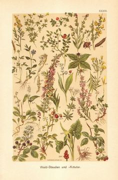 1901 Forest Shrubs and Herbs Genista by CabinetOfTreasures on Etsy