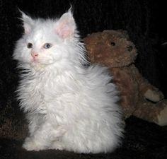 Cat Breeds That Stay Small, Lambkin Dwarf