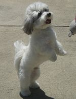 Dog Breed Coton De Tulear