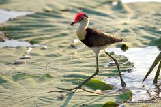 The comb-crested jacana