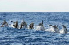 Atlantic spotted dolphin (Stenella frontalis), Pico, Azores, Portugal