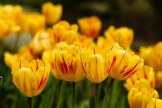 #tulipes #flowers #yellow