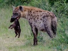 Hyena Sanctuaries in Gujarat, India @ Sanctuariesindia.com