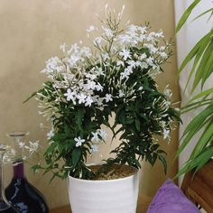 Indoor Gardening Growing jasmine flowers in bedroom will significantly decrease anxiety levels and giving positive effect on sleep quality also emitting oxygen during the night Best Indoor Plants For Bedroom Air Quality And Restful Sleep Best Indoor Plants, Cool Plants, Jasmine Plant Indoor, Small Plants, Plante Jasmin, Deco Cactus, Plantas Indoor, Growing Plants Indoors, Bedroom Plants