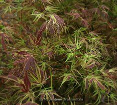 "Acer palmatum ""Manyo no sato"""