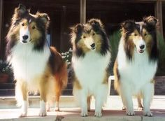 Such pretty puppies.  Sheltie Photo:  This Photo was uploaded by Brookemalley. Find other Sheltie pictures and photos or upload your own with Photobucket free image and video ...