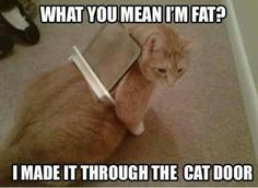 Memes, mean, and meaning: what you mean im fat imadeitthrough the cat door Fat Cats Funny, Funny Grumpy Cat Memes, Cute Cat Memes, Funny Animal Jokes, Funny Cute Cats, Really Funny Memes, Cute Cats And Kittens, Cute Funny Animals, Funny Kittens