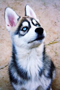 "Awesome ""Siberian husky dogs"" information is offered on our web pages. Baby Huskies, Siberian Huskies, Siberian Husky Blue Eyes, Baby Animals, Funny Animals, Cute Animals, Beautiful Dogs, Animals Beautiful, Cute Puppies"