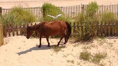 OBX, wild horses, crane, egret