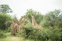 Photograph by Ross Couper Wildlife Safari, Giraffe, Remote, Photograph, Landscape, House, Animals, Outdoor, Beautiful