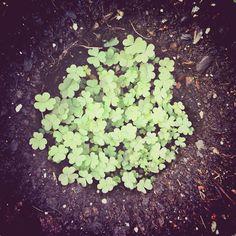 Voy a tener suerte. Seguro. #Suerte #Trebol #Hoja #Garden #Green #Home #Trifold #Lucky #LuckyDay ©www.aunioncreatividad.com