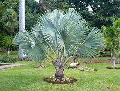 Palmier de Bismarck