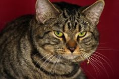 Russell is an adoptable Tiger Cat in Indianapolis, IN. Russell is a striking young kitty with an equally great personality. He loves people and craves attention here at the shelter. When he is pet he ...