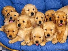 Golden Retriever puppies waiting for a photo session