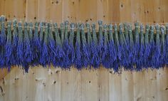 #Lavender drying from Lavender by the Bay in New York