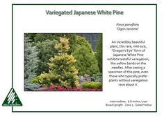 Pinus-parviflora-OgonJanome