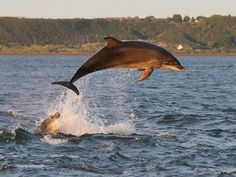 Bottlenose dolphin breaching at Chanonry point, Black-isle, Scotland. Picture taken from the shore.     photo ally kemp