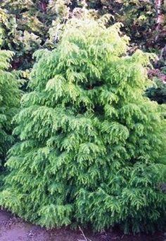 Cryptomeria Japonica Elegans Aurea | GardenArtPlantsGardenArtPlants Gardening Tips, Tools, Landscape, Plants, Gardens, Instruments, Scenery, Plant, Corner Landscaping