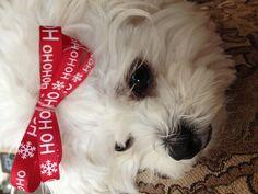 Lulu and her Christmas bow!!