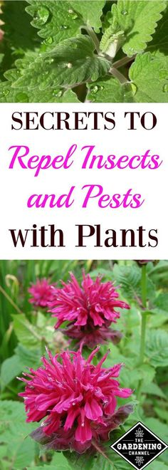 Repel insects and pests with plants in your garden.  Learn which flowers and herbs work best at keeping bugs and pests away.