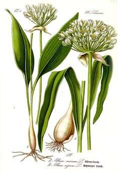 Wild garlic plant and bulb. #wildgarlic #ramsons #woodgarlic #nature #woods #forest #green #herbs