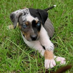 Catahoula leopard dog is the only surviving dog to have been bred by Native Americans. A partial list of his supposed ancestors includes the Mexican Xoloitzculntli, the Peruvian Inca Orchid, the American dingo, and the red wolf. Cute Puppies, Cute Dogs, Dogs And Puppies, Doggies, Baby Puppies, Big Dogs, Baby Animals, Funny Animals, Cute Animals
