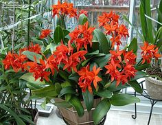 Full size picture of Orchid, Cattlianthe Fire Dance 'Patricia' (<i>Cattlianthe</i>)