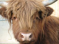 Best Grass-fed beef in the world! Also super cute and mild-mannered cows! Fluffy Cows, Highland Cattle, Grass Fed Beef, Hobby Farms, Tibet, Adorable Animals, Pigs, Farm Animals, Sculpture Art