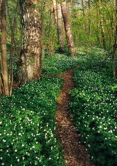 just magical. wood anemone / finland... I want to run there