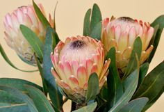 Protea. Not sure of the name of this one. Shot against a cream wall because I like it to look a little like old botanical illustrations.