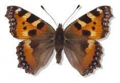 Genkend 10 danske sommerfugle