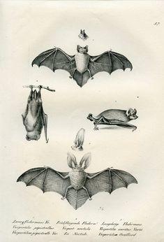 Bat illustrations