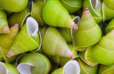 Manus Island Tree Snail