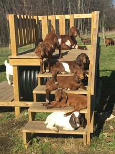 Baby Boer Goats. What a fun little play structure for them, I must say.